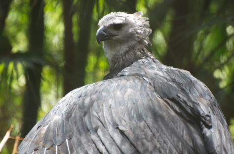 The magnificent harpy eagle - apparently they do have some nesting pairs in Belize though they are very rare.