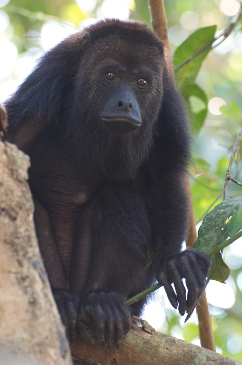 The matriarch of the howler monkey troop.
